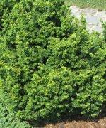 Rośliny W Kategorii Tsuga Choina Kapias Ogrody Do Zwiedzania