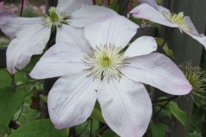Clematis 'The First Lady'   powojnik   grupa wielkokwiatowe