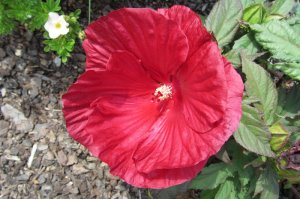 Hibiscus SUMMERIFIC 'Crunberry Crush'   ketmia SUMMERIFIC 'Crunberry Crush'
